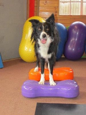 Fitness and Conditioning for the Canine Athlete – The Fitpaws Way